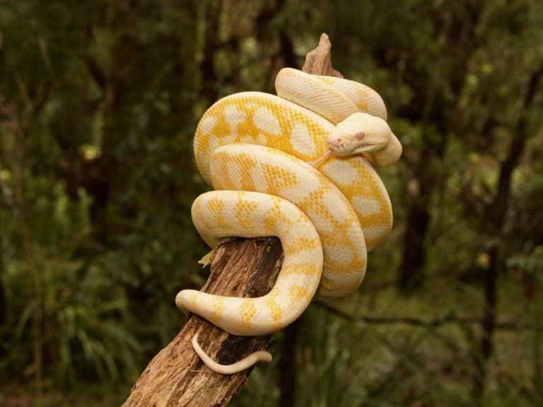 Schöne gelbe Schlange