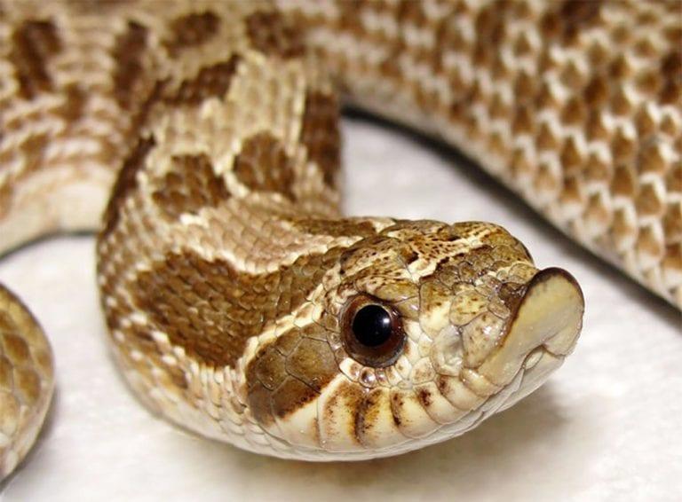Schönste kleine Hakennasennatter Schlange auf dem Planeten