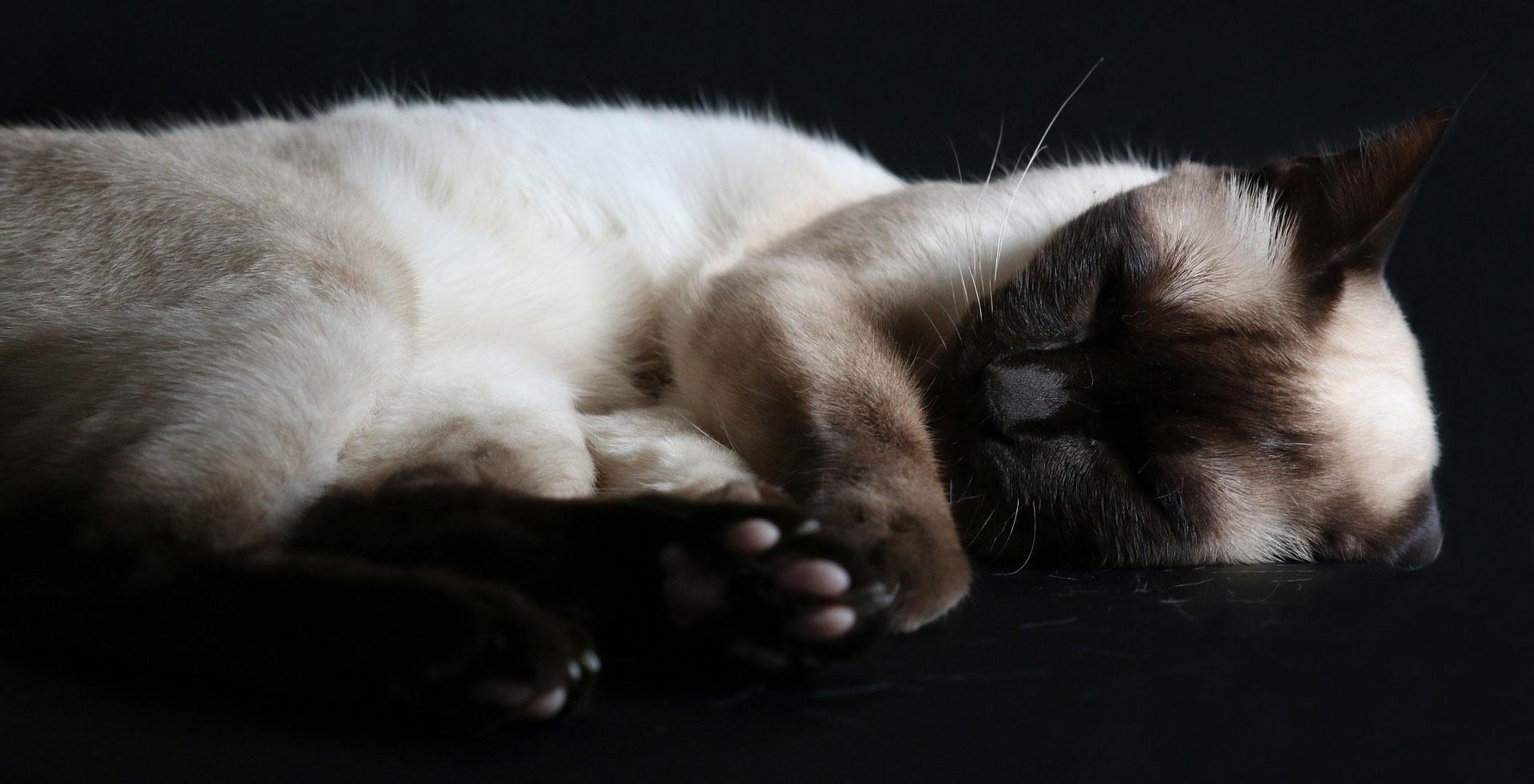 Häufige Krankheiten bei Siamkatzen