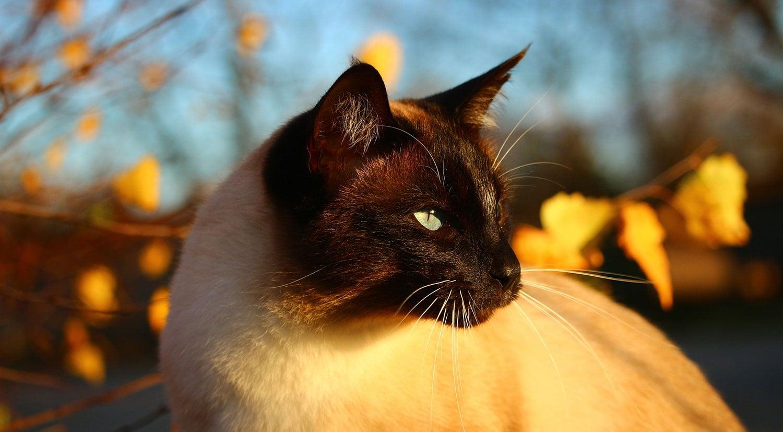 siamkatzen zucht
