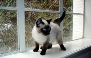 Süßes siamesisches Kätzchen