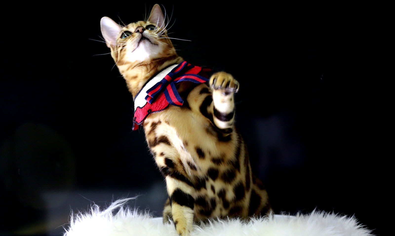 Bengalkatze - Prionailurus bengalensis oder Leopardkatze