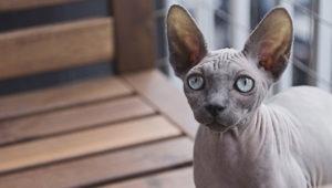 Katze ohne Haar