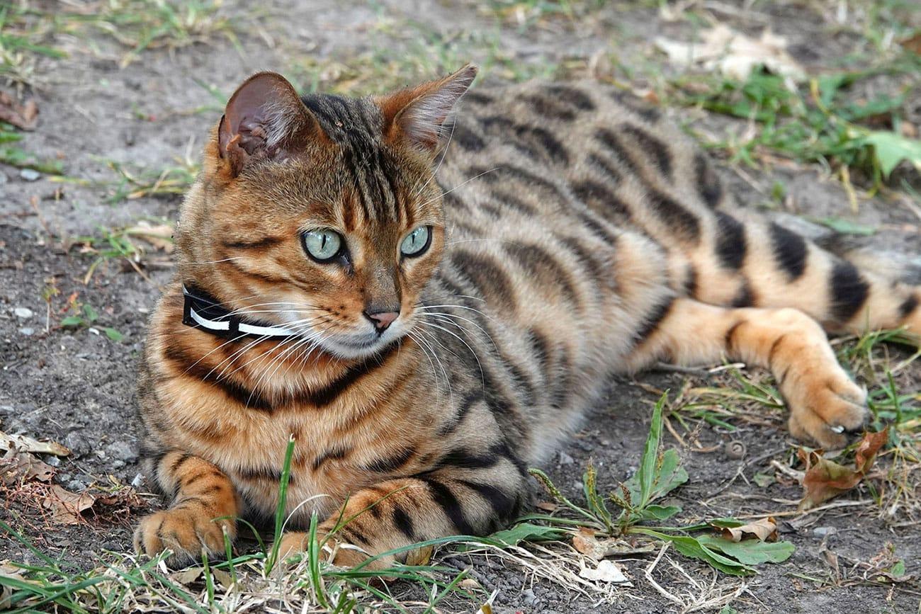 leopardino leopardette