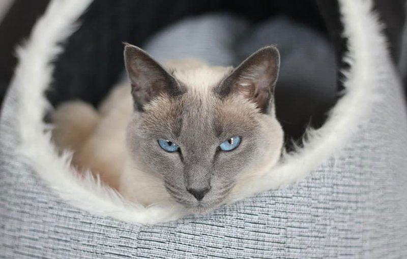Katzenkorb Siamkatze