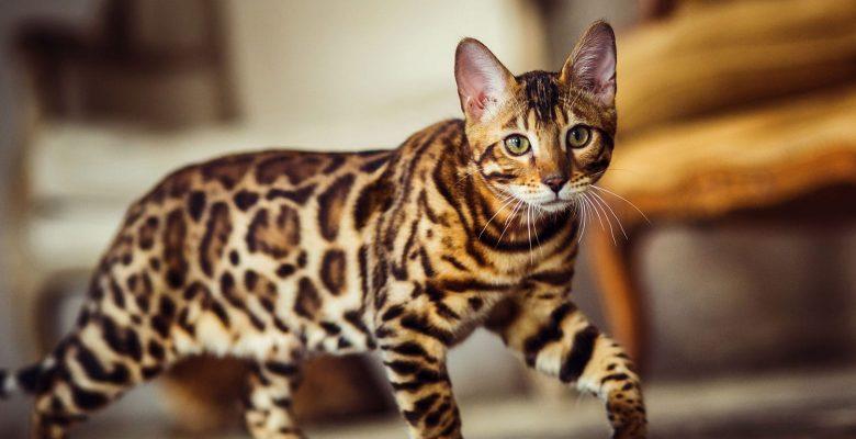 Bengal, Katze, wie, A, Leopard, Sneaks