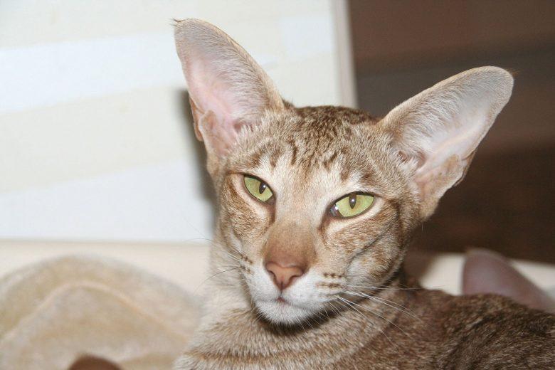 Orientalisch Kurzhaar - eine Varietät der Siamkatze