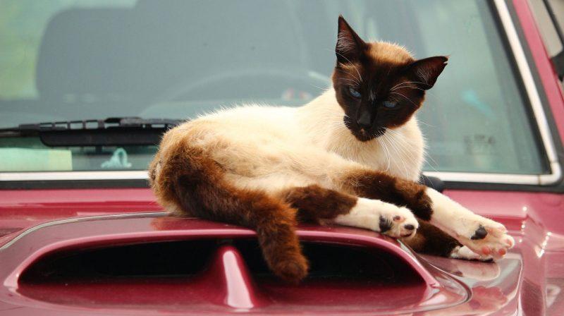 siam cat on car